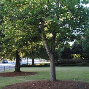 Tree in Auburn, AL