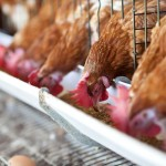Hens in commercial operation