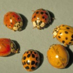 Asian lady beetle adults