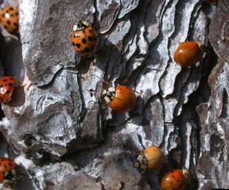 Asian lady beetles congregating