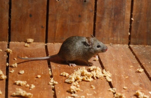 Keeping mice out of your house extension daily for Mice in between floors