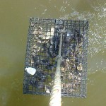 Oyster gardening program
