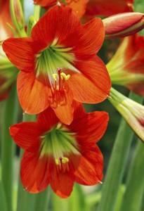 amaryllis blossom 1