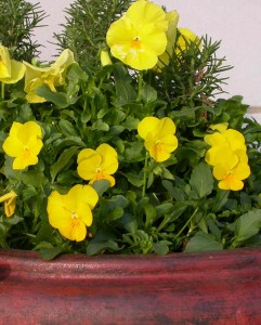 Pansies & pinolas make a colorful container garden