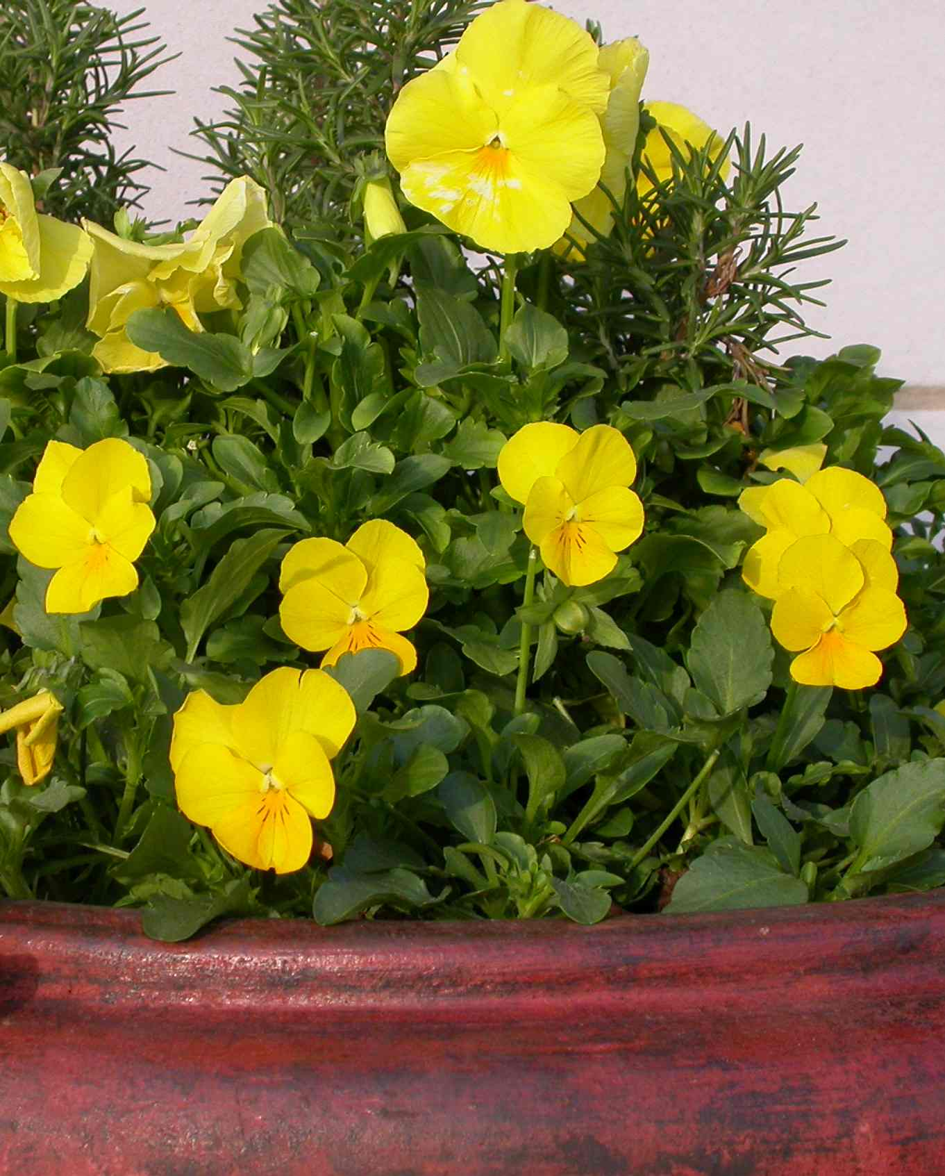 Winter wonders flowers that bloom in winter extension daily annuals pansies pinolas make a colorful container garden izmirmasajfo