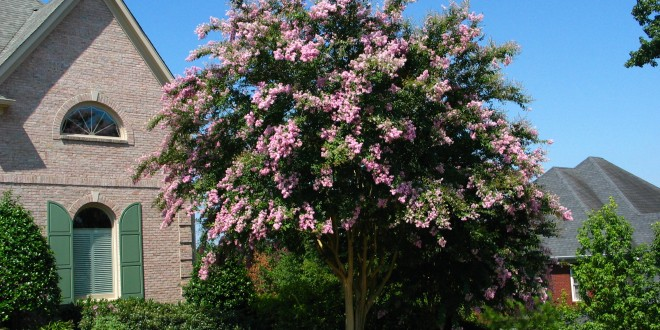 Crapemyrtles and the Promise of Good Pruning