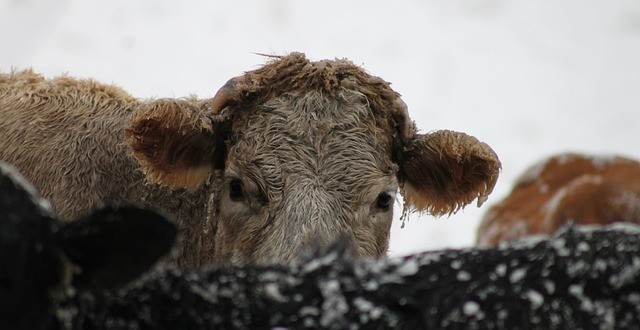 Cold Weather Impacts on Livestock