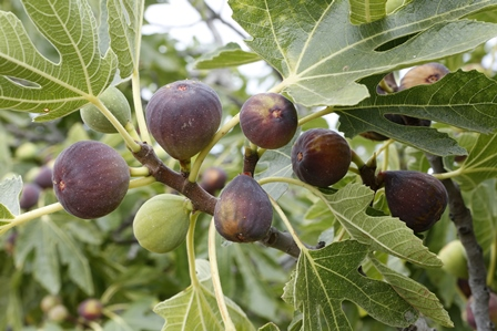 Growing Figs in Alabama