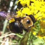 Carpenter bee by Karan A. Rawlins, University of Georgia, Bugwood.org