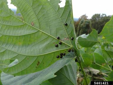 Spring: Prime Time for Kudzu Bugs