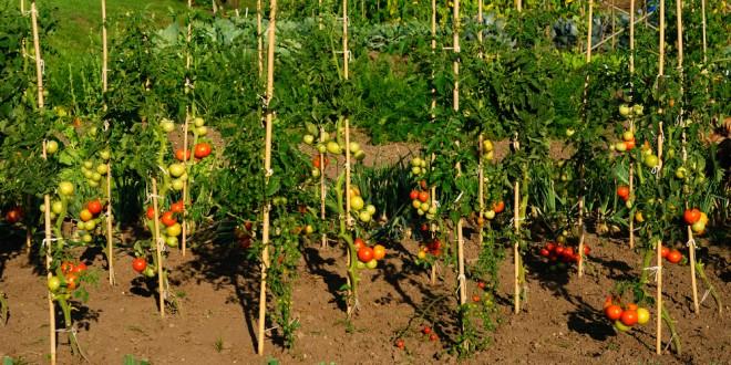 Grow A Perfect Tomato