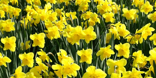 Daffodils Didn't Bloom This Year?