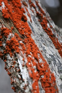 Coral-colored lichens on tree bark.