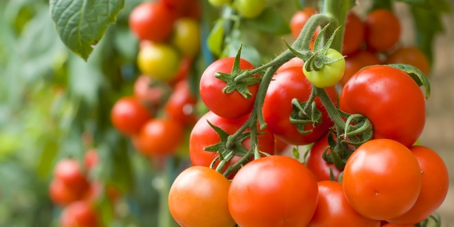 Tomatoes: Site Selection and Planting