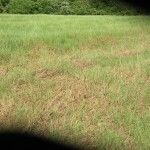 True Armyworm Damage in Pasture