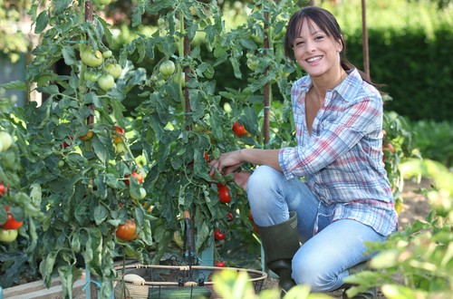 Tomatoes: Disease and Drought