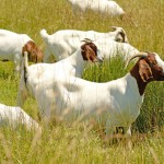 Meat goats are small ruminant