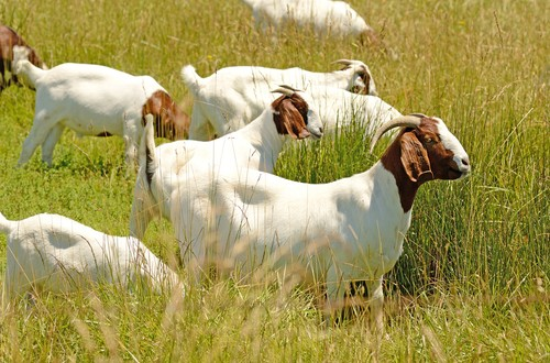 Producers Make Strides through Small Ruminant Tour
