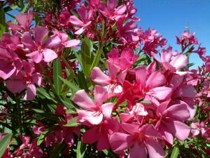 Oleander (Photo: Flickr.)