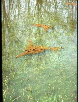 Fire Ants Riding Flood Waters