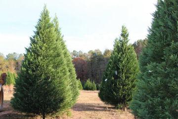 christmas tree farms in alabama - Christmas Tree Farm