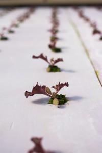 Small artisan lettuce