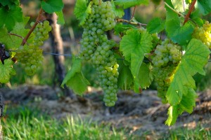 Mature bunch grapes growing along their trellis system.