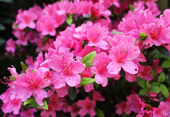 Azaleas and rhododendrons extension daily for The azalea