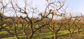 Low Chill Hours Cause Worry for Peach Producers