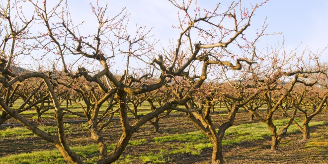 Warm Weather Not Welcome for Peach Growers