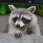 Racoon wild neighbor