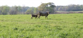 Beef Cattle Management: Early Weaning