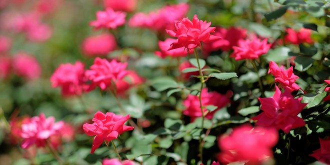 Knock Out Roses: The Undisputed Champs of Ornamental Plants