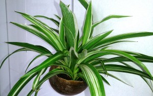 spider plant houseplants
