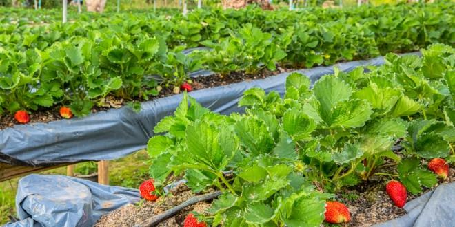 Alabama Strawberry Production: A Sweet Business