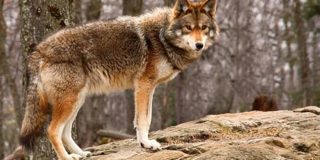 HEY FRIENDS!  BENCH PRESSES CURED MY SHOULDERS! Coyote-standing.jpg.adapt_.945.1-660x330