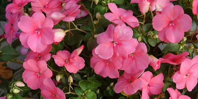 Impatiens: One of Top Bedding Plants in Alabama