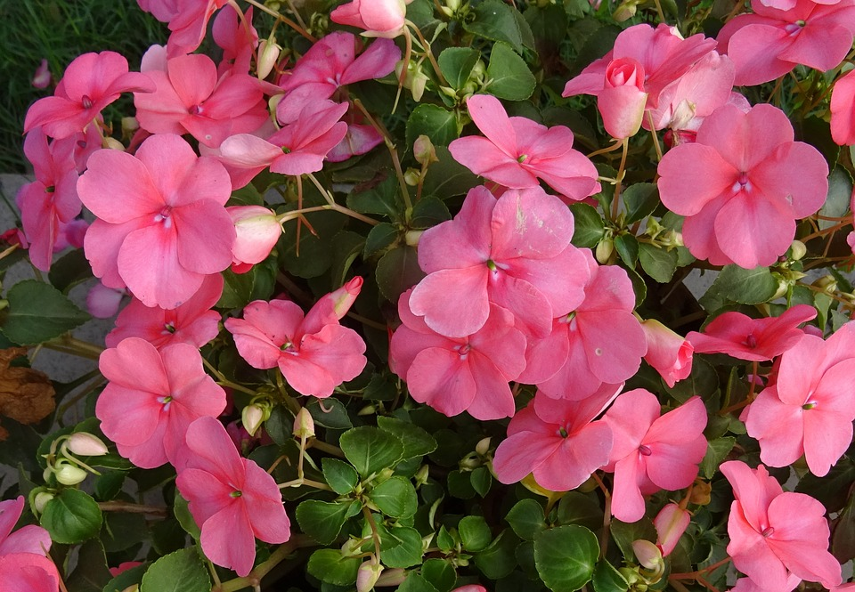 Impatiens one of top bedding plants in alabama - Planta alegria del hogar ...