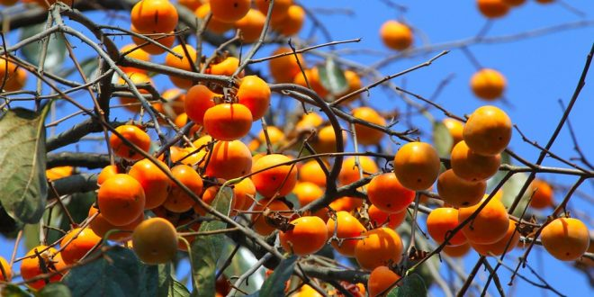 How to grow Persimmons in your backyard