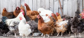 Protecting Backyard Chickens from Avian Influenza