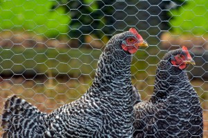 Protect Backyard Chickens from Avian Influenza