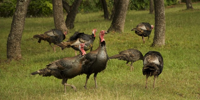 Spotlight on Turkey Hunting