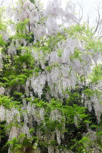 wht wisteria tree