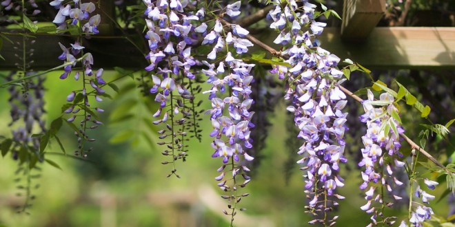 Wisteria: Making the best of wild vines