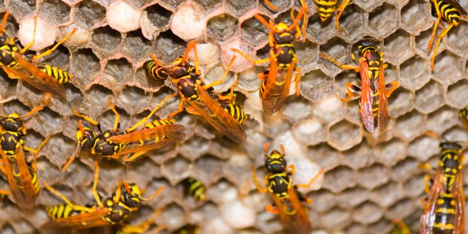 Yellow Jackets and How to Manage Them