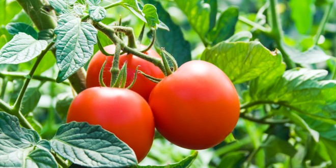 How Does Your Tomato Garden Grow?