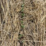 soybean stands