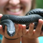 Eastern Hog Nose Snake