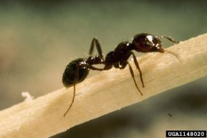 Fire ant worker. Photo by USDA APHIS PPQ - Imported Fire Ant Station , USDA APHIS PPQ, Bugwood.