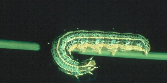Fall Armyworm Outbreak in Alabama Pastures